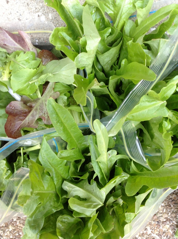 Lettuce harvested and bagged for the market stand. You can also soak lettuce in cold water to keep it fresh.