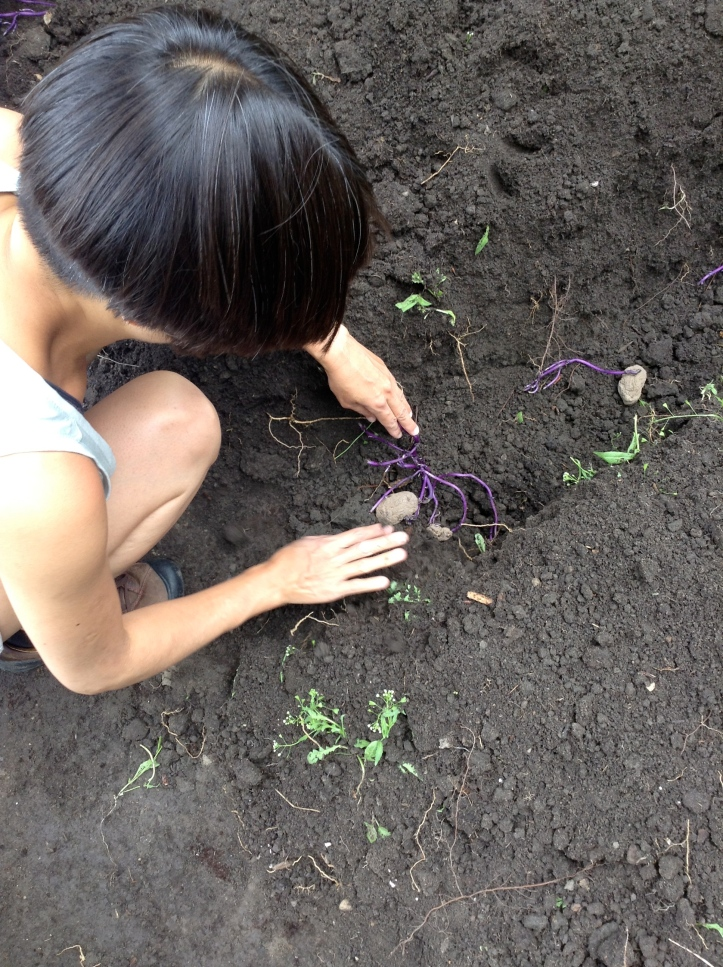 Katie planting potaotes at the Hart House farm plot. Plant potatoes with the roots facing up and cover with soil.