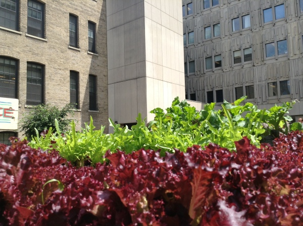 Green and red ettuce almost ready for harvest at Med Sci.