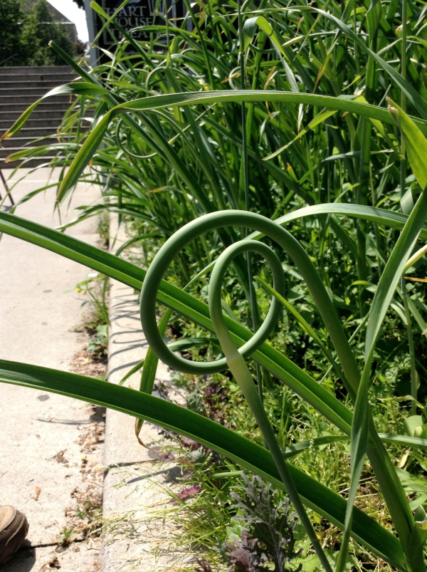 Garlic scapes can be harvested where the stem meets the leaf near the top of the plant. Just give the scape a tug to pop it off, or cut it with a harvesting knife. The white part pictured is where the flower will bloom.