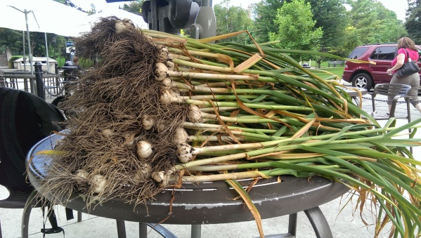 Our pile of harvested garlic!