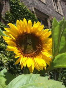 HH sunflower